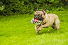 French bulldog. A french bulldog running whith her toy Stock Photo