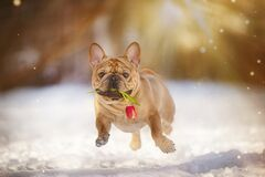 Free French Bulldog Runs With Red Tulip In Teeth On Sunny Winter Day Royalty Free Stock Images - 173357809