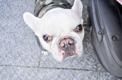 French bulldog`s looking to the camera Royalty Free Stock Image