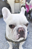 French bulldog`s looking to the camera Royalty Free Stock Photography