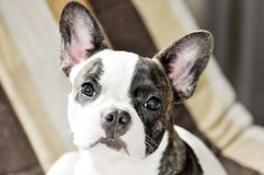 French Bulldog Stock Photos