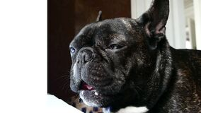 French bulldog sad howls. Dog breed French bulldog sad howls stock video footage