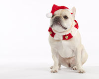 French Bulldog Santa. Little blonde French Bulldog wearing a santa hat stock image
