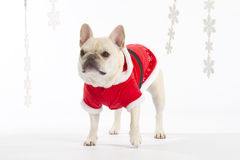 French Bulldog Santa. Little blonde French Bulldog wearing a santa suit with snowflakes royalty free stock photography
