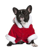French bulldog in Santa coat, 3 years old Stock Photos