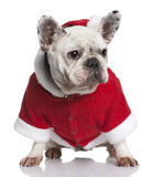 French bulldog in Santa coat, 3 years old Royalty Free Stock Image
