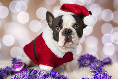 French bulldog in santa costume Stock Photos