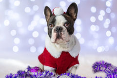 French bulldog in santa costume Royalty Free Stock Images