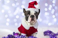 French bulldog in santa costume. For Christmas Stock Photo