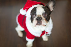 French bulldog in santa costume for Christmas. French bulldog dressed up in santa costume for Christmas Stock Photo
