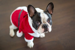French bulldog in santa costume for Christmas. French bulldog dressed up in santa costume for Christmas Stock Photography