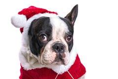 French bulldog in santa costume. For Christmas over white Stock Photo