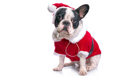 French bulldog in santa costume. For Christmas over white Royalty Free Stock Photos