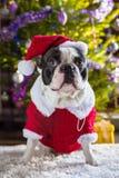 French bulldog in santa costume. Under christmas tree Royalty Free Stock Image