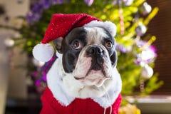French bulldog in santa costume. Under christmas tree Royalty Free Stock Photos