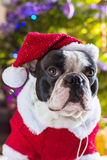French bulldog in santa costume. Under christmas tree Stock Photos
