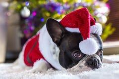 French bulldog in santa costume. Under christmas tree Royalty Free Stock Photography