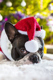 French bulldog in santa costume. Under christmas tree Stock Image