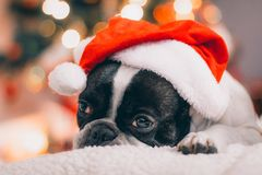 French bulldog with Santa hat royalty free stock images
