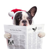 French bulldog in santa hat reading newspaper Royalty Free Stock Images