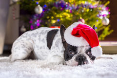 French bulldog in santa hat Royalty Free Stock Photos