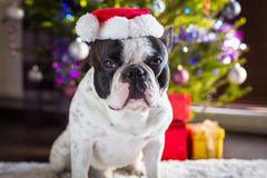 French bulldog in santa hat Stock Images