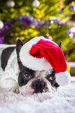 French bulldog in santa hat Stock Image