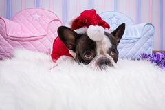 French bulldog in santa helper costume Stock Images