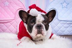 French bulldog in santa helper costume Royalty Free Stock Photography