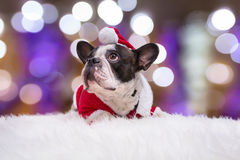 French bulldog in santa helper costume Royalty Free Stock Photo
