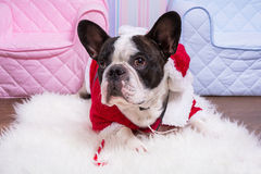 French bulldog in santa helper costume Royalty Free Stock Image