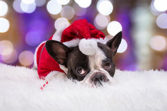 French bulldog in santa helper costume Royalty Free Stock Photography