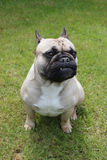 French bulldog sat on grass. A beautiful french bulldog sat on grass Royalty Free Stock Photography