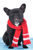 French bulldog with scarf Royalty Free Stock Photo