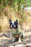 French Bulldog on the sea Stock Image