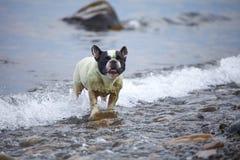French Bulldog on the sea Stock Photo