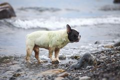 French Bulldog on the sea Royalty Free Stock Image