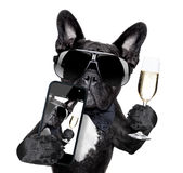 French bulldog selfie Royalty Free Stock Image