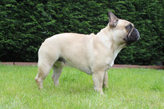 French bulldog side profile outside Royalty Free Stock Image
