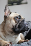 French bulldog side profile Stock Image