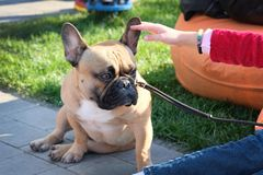 Free French Bulldog Sits On Paving Slabs Resting On Its Front Paws. The Dog Is Brown With A White Spot On The Chest. Stock Photos - 164073773