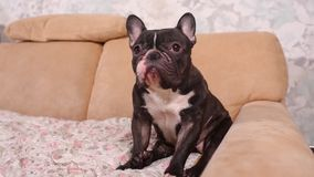 French bulldog sitting on couch - horizontal dog. French bulldog sitting on couch - horizontal dog stock footage