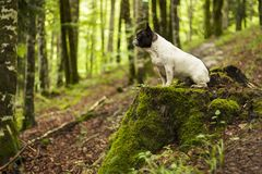 French bulldog sitting on a cut tree trunk in a green forest royalty free stock photo