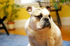 French bulldog sitting down Royalty Free Stock Photos