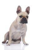 French bulldog sitting isolated on white Stock Photos