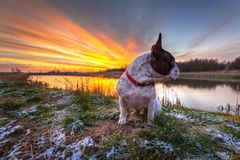French bulldog sitting at the lake. At sunrise stock photos