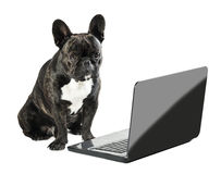 French bulldog sitting with laptop Stock Images
