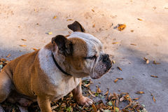 French bulldog sitting and looking away. Bulldog mascot staying and looking portrait Stock Photography