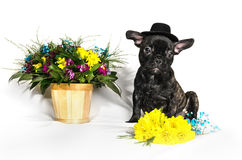 French bulldog sitting or lying in next to a spring bouquet in a basket Royalty Free Stock Photo