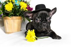 French bulldog sitting or lying in next to a spring bouquet in a basket isolated Royalty Free Stock Images